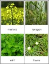 Types of Herbs Nomenclature Cards