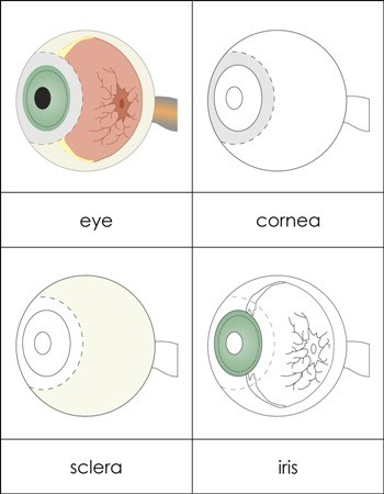 Parts of an Eye Nomenclature Cards