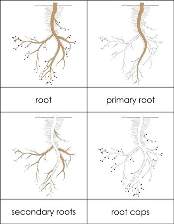 Parts of a Root Nomenclature Cards
