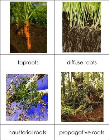 Types of Roots Nomenclature Cards
